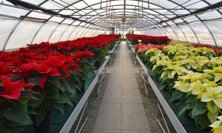 Poinsettias