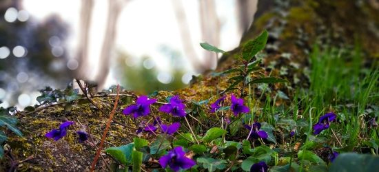 Violets by ernesto bruschi